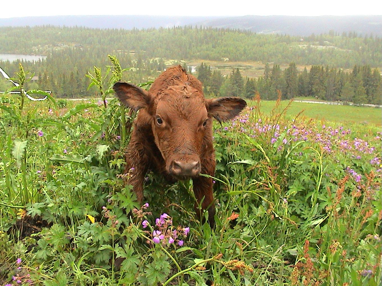 Nyfødt kalv - Tunnetjern